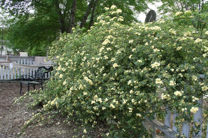Lady Banks Rose is one of the invasive plants