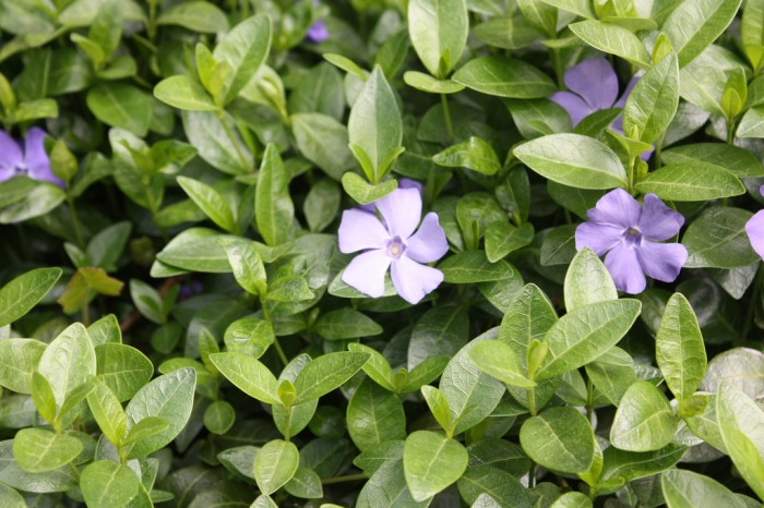 Common periwinkle is among the most invasive plants for groudcover