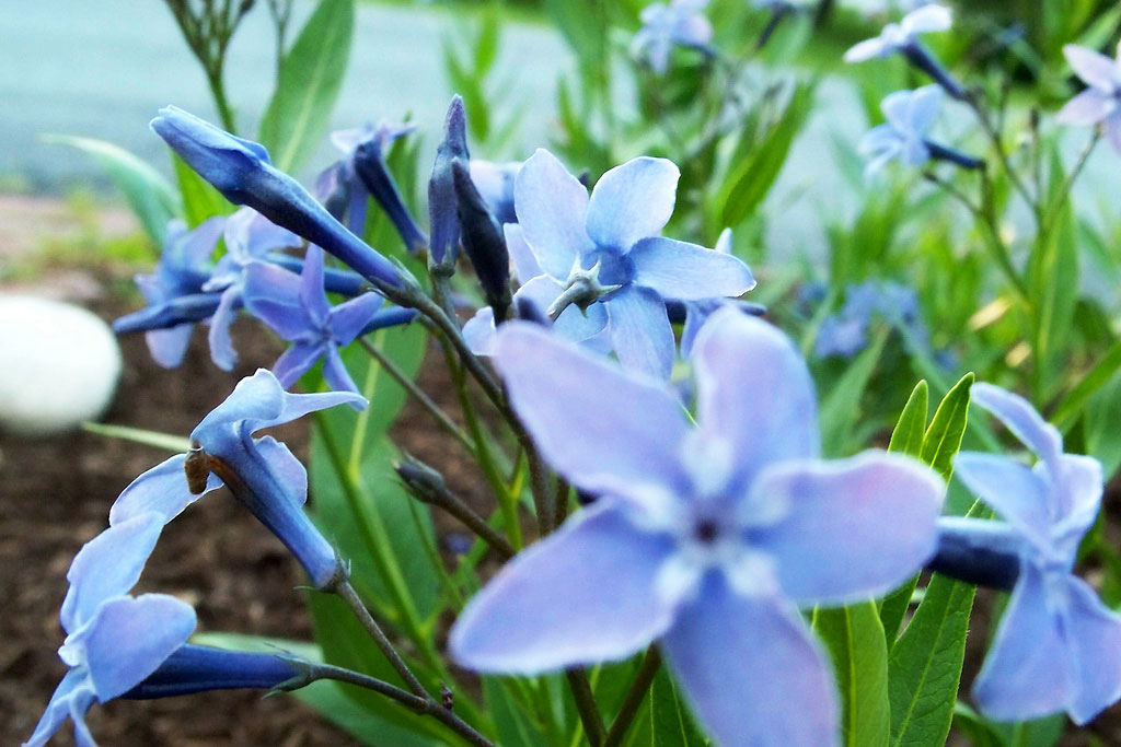 Amsonia light blue flowers are stunning along a walkway.