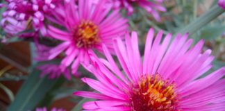 Asters flowers come in many shades and they're easy to grow from seed.