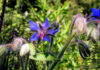 Borage blue flowers