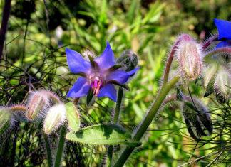 Borage blue flowers