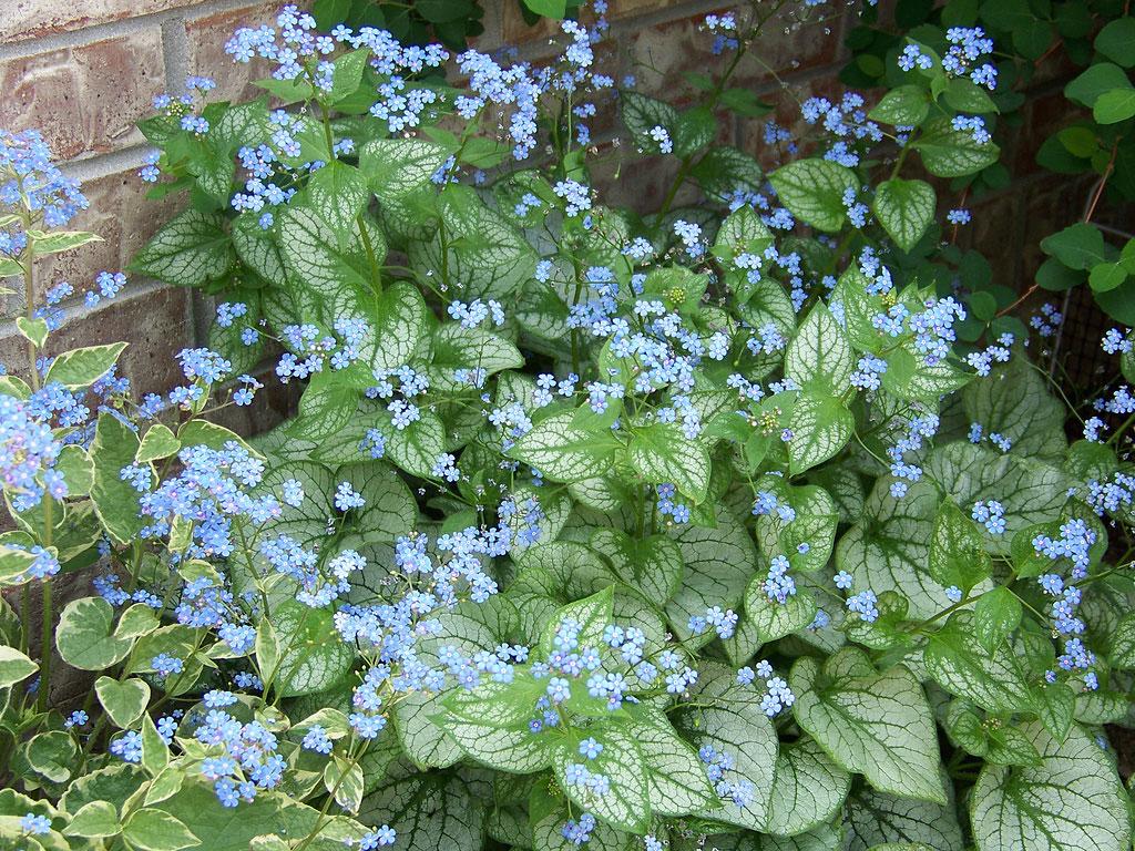 Brunnera Jack Frost flowers