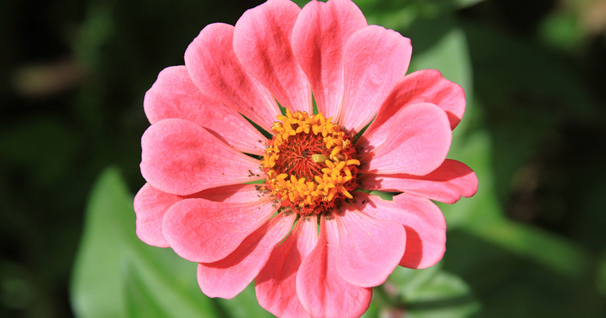 Zinnias one of my favorite easy annual flowers for blooms all summer lng.