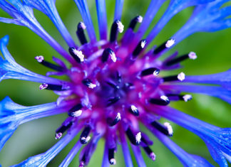 Cornflowers are one of the prettiest annuals in the garden. They attract songbirds and beneficial insects, and are easy to grow.