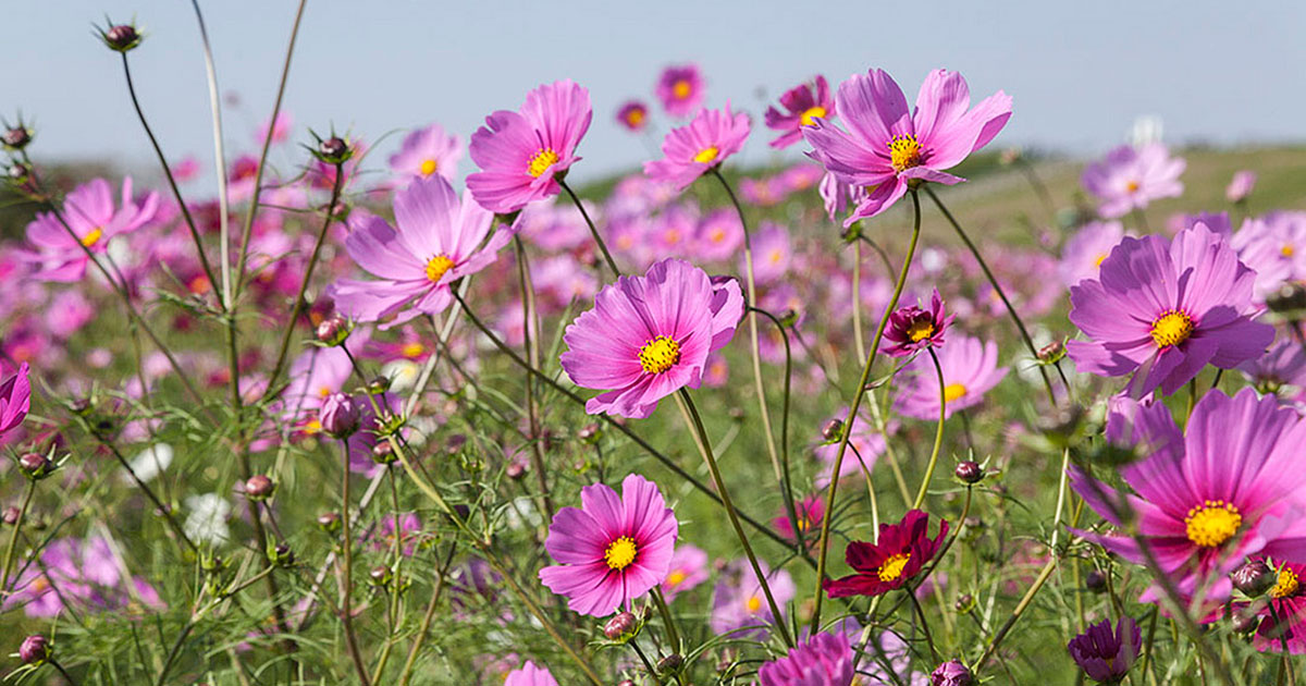 Cosmos are one of the easy annual flowers to grow in the city.