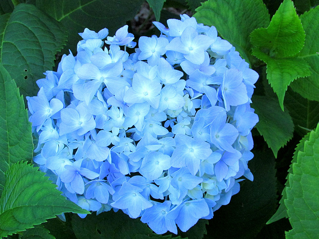 The light blue flowers of the hydrangea plant are great for cuttings.