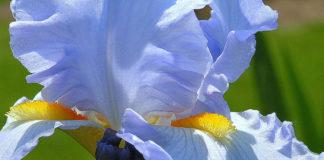 Iris Sun and Sky Blue
