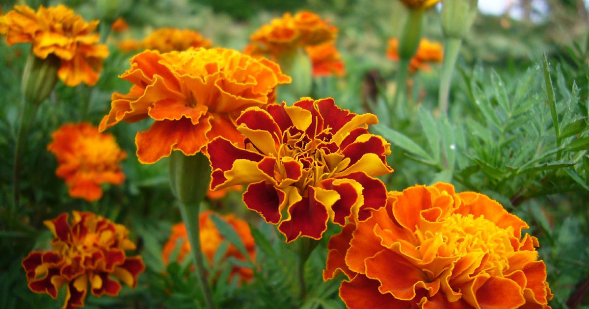 Marigolds are among the easiest annuals to grow and can help repel critters in your vegetable garden.