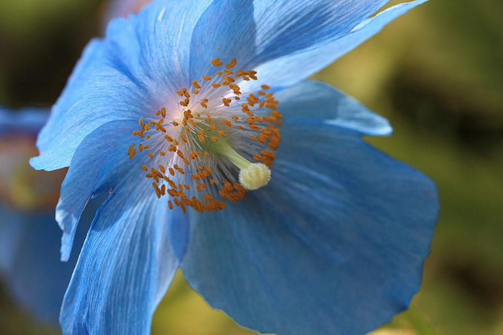 Poppy Himalayan Blue flowers