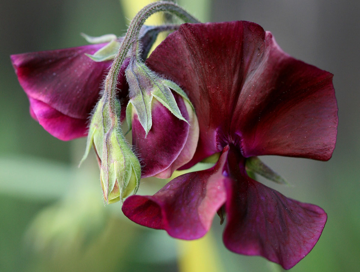 Sweet peas grow quickly and produce beautiful blooms, but you have to beware that the seed pods look like English peas but are poisonous.