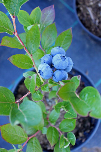 Grow blueberries at home with these easy tips