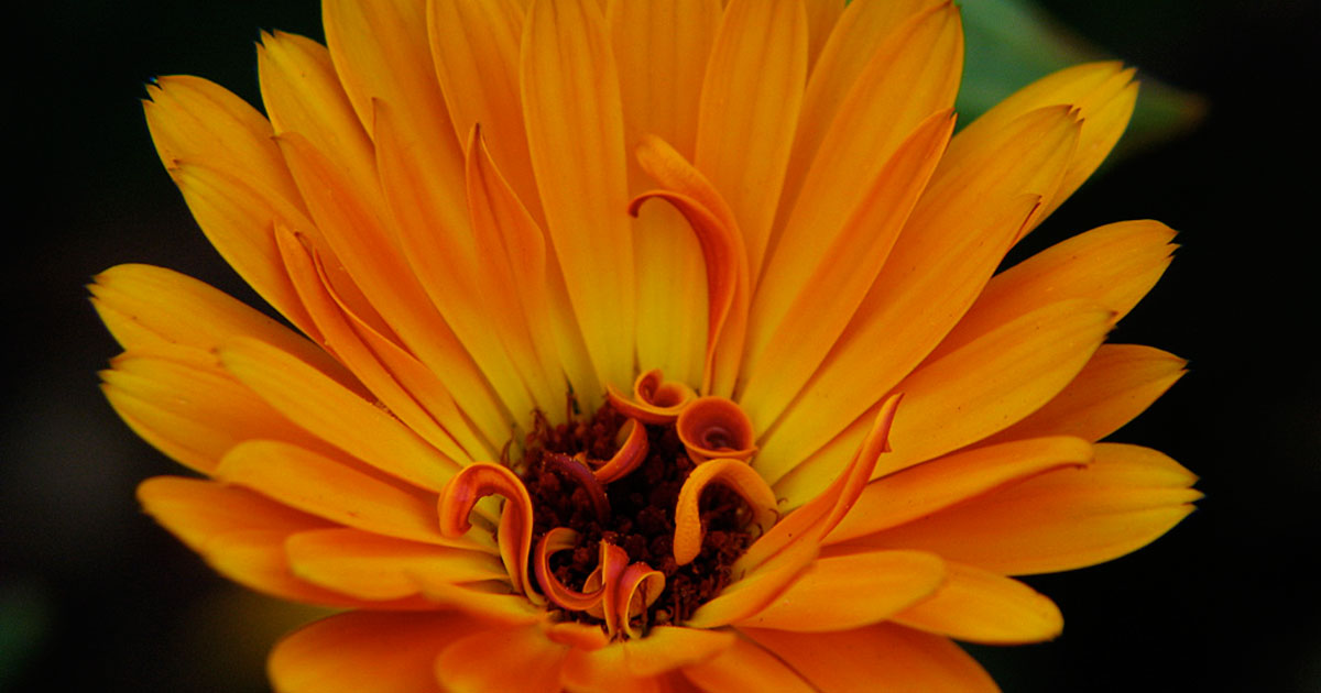 Calendulas are among the easiest annuals to grow.