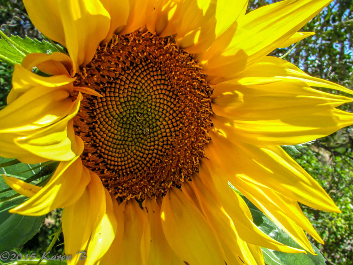 Sunflowers are easy to grow and some varieties produce edible seeds that people and birds love.