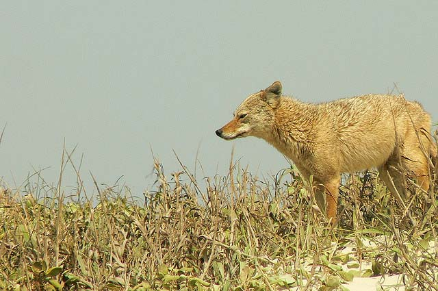 You may see coyotes while winter camping at Padre Island National Seashore